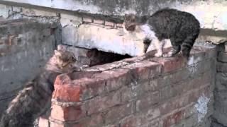 Коты орут