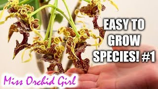 Orchid Species for beginners (easy to care for!) #1 - Aeranthes, Dendrobium & more!