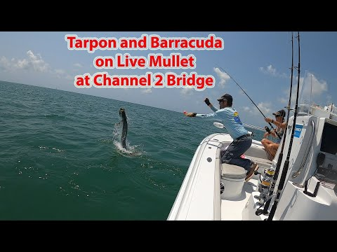 Barracuda And Tarpon At Channel 2 Bridge In Islamorada, Florida Keys On Live Mullet!