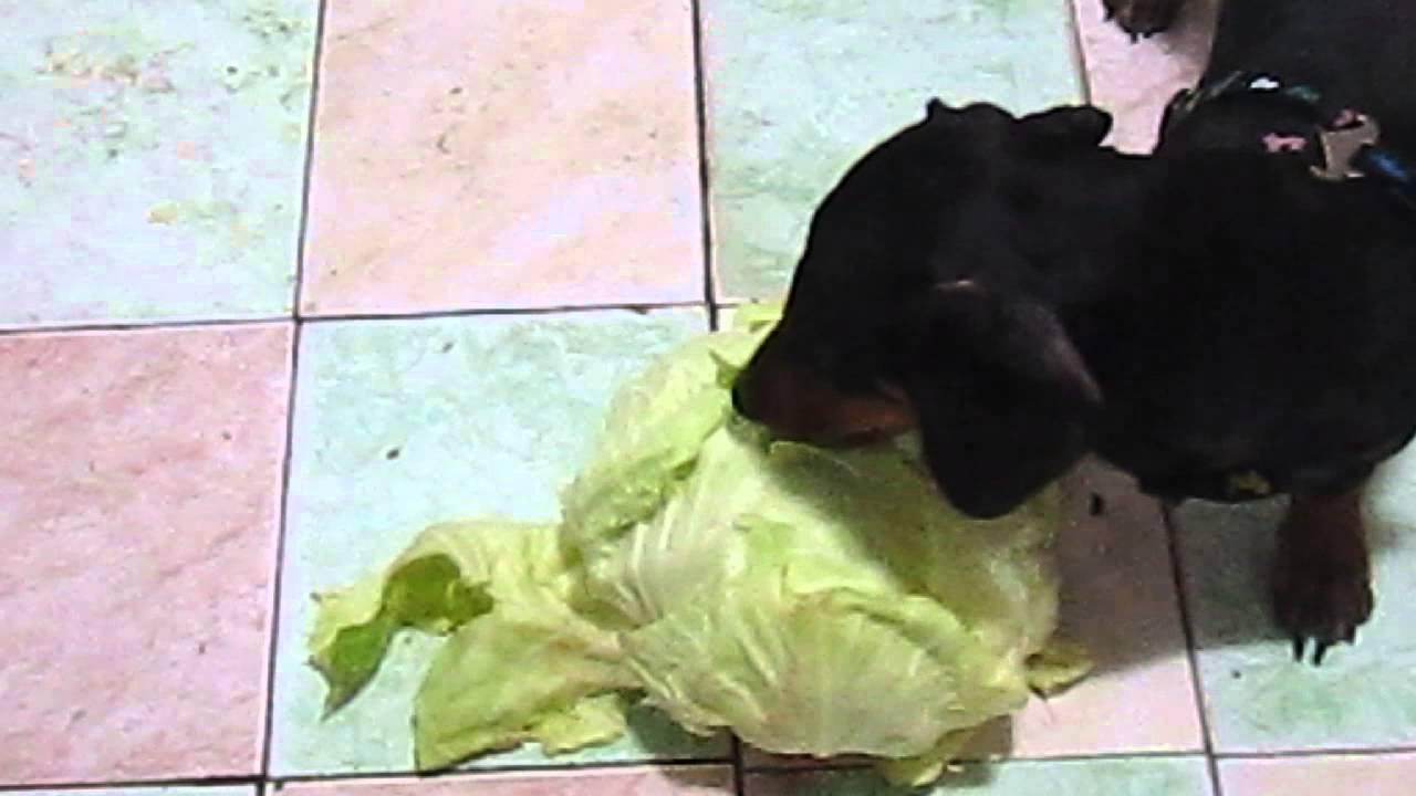 кого гифка собака жрет капусту при поступлении диска