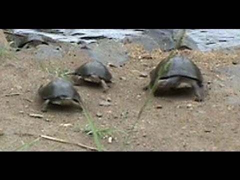 Battle At Kruger- Crocodile Vs Tortoises - Continuation!