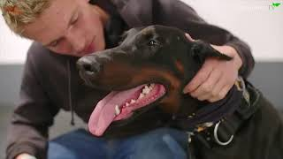 THE DOBERMAN  FULLY TRAINED PROTECTION DOG