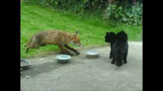 Cat vs fox / an cat i gcoinne an tsionnaigh /Katze gegen Fuchs / Chat contre Renard
