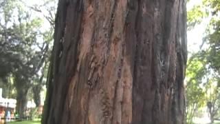 Angico árvore nativa  - passeio público - Curitiba