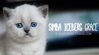 Шотландский прямоухий котенок - Simba Iceberg Grace