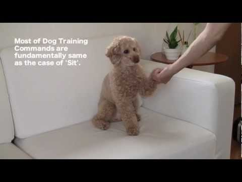Dog Training 4 ' How to perform Commands ' Toy Poodle MOCHA / JPN