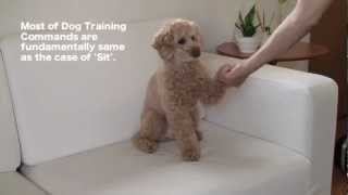 "Dog Training 4 "" How To Perform Commands "" toy Poodle Mocha / Jpn"
