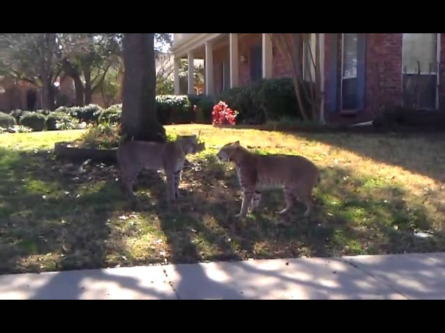 Two Bobcats In Dramatic Stare Down Videotaped In Suburban Texas