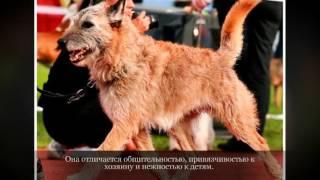 Бельгийская овчарка Лакенуа Крупные породы собак