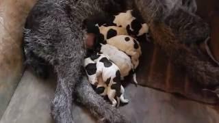 Первый день жизни щенка - День 1 - Уход за щенками день за днем