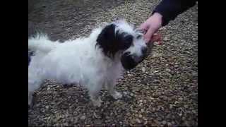 Hugo (terrier Cross) Rescue Dog For Adoption @ Cheltenham Animal Shelter