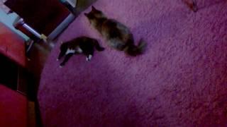 CAT FIGHTING?!/ Cat Boxing/КОШАЧЬИ БОИ/МОИ КОШКИ!!!