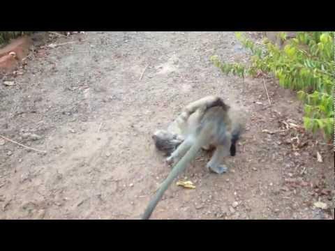 Playtime Throwdown: Monkey vs. Kitten