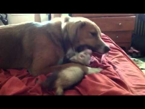 Gentle dog and ferret
