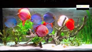 Neugestaltung eines 450 Liter Aquariums mit Stendker Diskusfischen von Diskus-Direkt.de