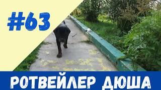 РОТВЕЙЛЕР ДЮША.ВОЗРАСТ 4 МЕСЯЦА. дрессировка и воспитание собаки