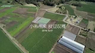 毎年の恒例行事 上湯江地区 小糸在来の枝豆収穫