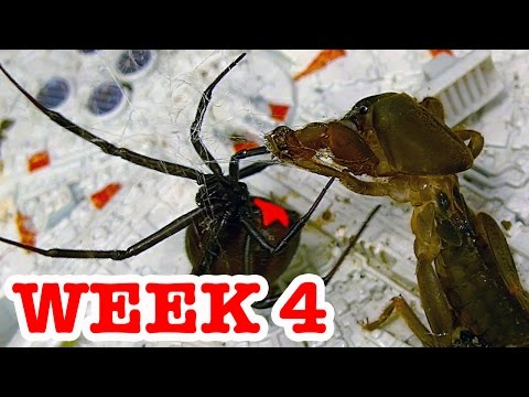 Deadly Spider Vs Devil Bug Week 4 Redback Spiders Ultimate Killers