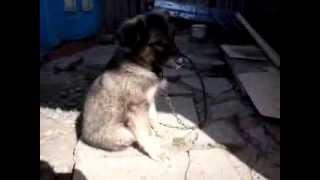 помогите определить породу собак 1