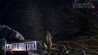 [中国新闻] 甘肃:尕海则岔自然保护区发现雪豹踪迹 | CCTV中文国际