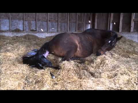 Mare giving birth to all Black stud colt