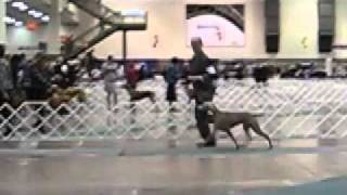 Seattle Kennel Club 2011 - Weimaraner Judging