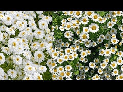 """Растение для ленивых садоводов! """" Пиретрум  Девичий""""."""