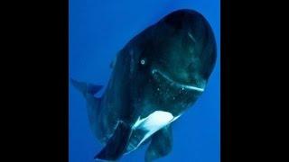 Гринды - морские охотники