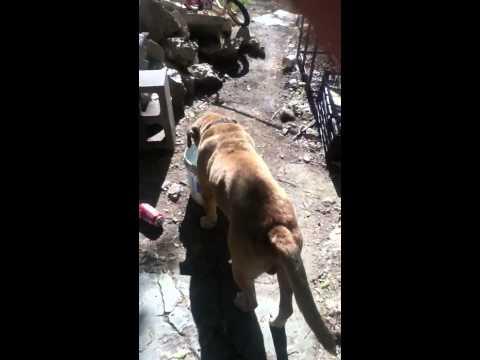 Perritos cruza chihuahua y pitbull