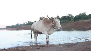 Funny cow in water | Cow Fight | Cow Video For Kids | More Cows for Kids | Full HD 1080p