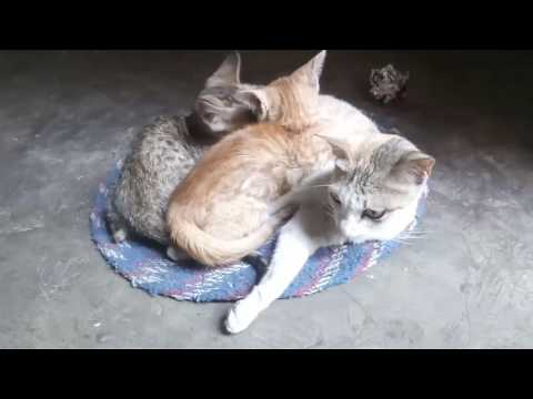 Cat feed & indulge her kittens while they hungry