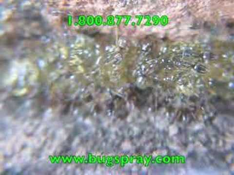 MAXFORCE ANT GEL ATTACKED BY ODOROUS HOUSE ANTS