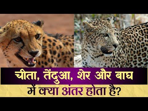 जाने क्या अंतर होता है बाघ, शेर, चीता और तेंदुए में?