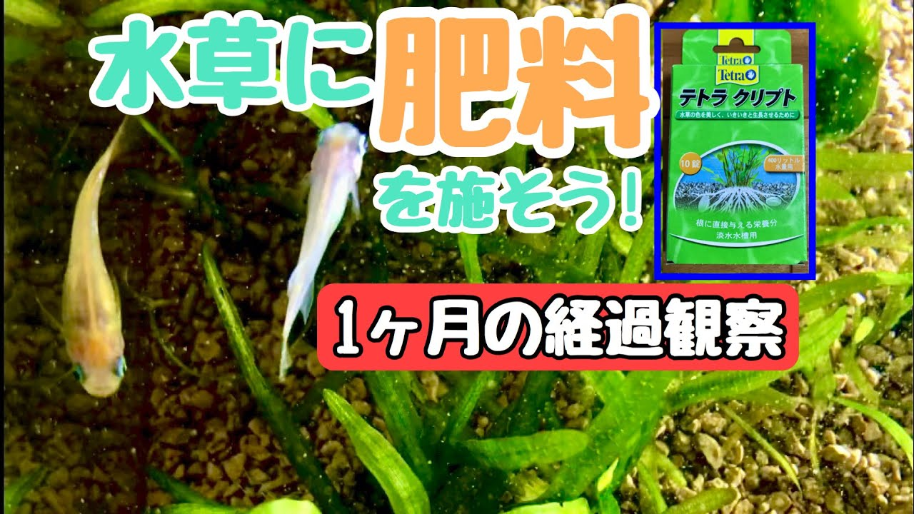 [メダカ 水草]肥料を與えたスクリューバリスネリアの様子を観よう!#2 - YouTube
