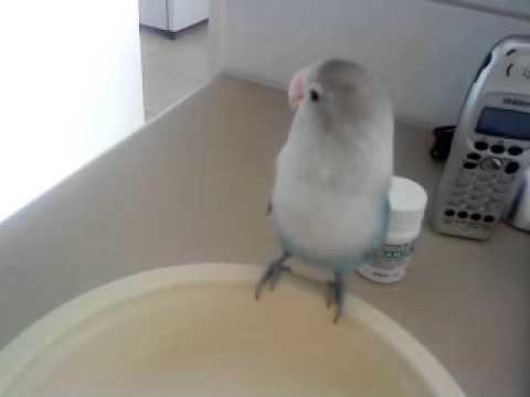 Lovebird Talking