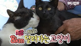 최소 사랑꾼 고양이~ 사랑 때문에 8km 달려가는 거 실화?