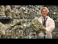 Inside a recreational pot factory in Canada Mp3