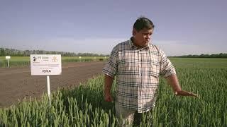 Показ сортов пшеницы на Дне поля «РЗ Агро» - полная версия
