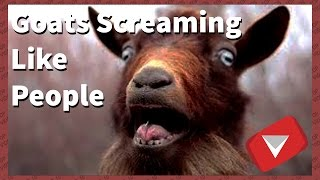 goats screaming like humans [funny] (TOP 10 VIDEOS)