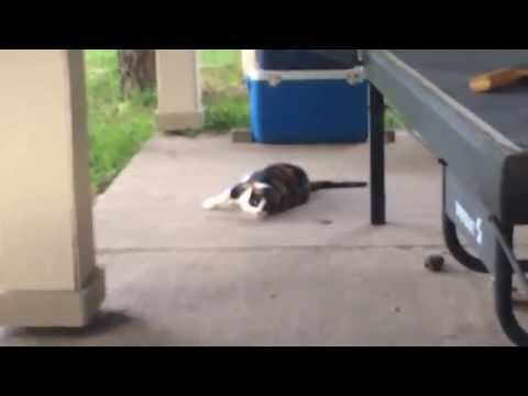 Stupid cat meows when she rolls over the back porch (hilarious)