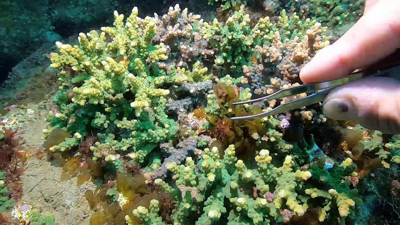 【12月28日】地道なサンゴの保全活動