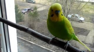 видео Пропал голос у волнистого попугая: что делать?