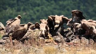 природа, белоголовый сип или на болгарском языке - лешояд