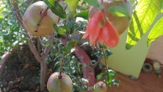 Cách trồng cây lựu trong chậu l Cho trái quanh năm l Bằng những thứ vỏ vứt đi, kết quả tuyệt vời.