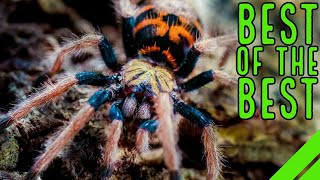Top 10 New World Tarantulas - Must Have Species!