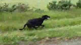 This Video Previously Contained A Copyrighted Audio Track. Due To A Claim By A Copyright Holder, The Audio Track Has Been Muted.     Great Dane German Shepherd Cross