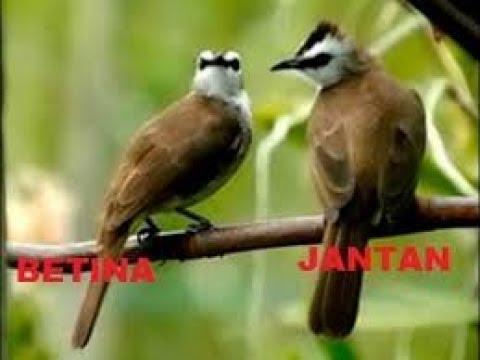 KETAHUILAH!!! Cara Membedakan Burung Trucukan Jantan dan Betina