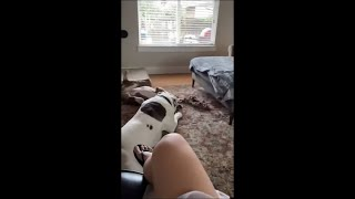 Dog Faceplants and Flips Trying to Jump to the Ground