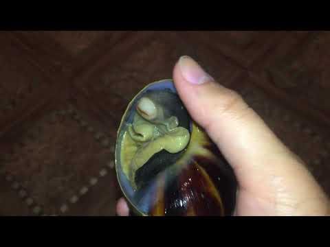 Это ужас! Попытка вытащить мертвой улитки из раковины. Архахатина маргината маргината.