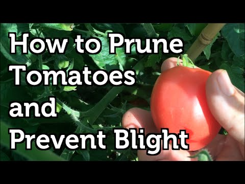 how to prune tomatoes to increase yields prevent disease and ripen fruit faster youtube. Black Bedroom Furniture Sets. Home Design Ideas